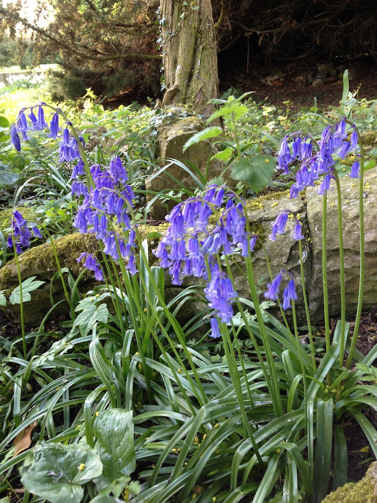Lovely english bluebells